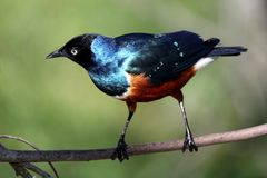 Superb Starling Bird Stock Images