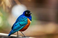 Superb Starling bird stock image