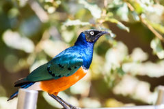 Superb Starling Bird Stock Photos