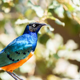 Superb Starling Bird Stock Photography