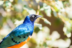 Superb Starling Bird Royalty Free Stock Image