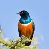 Superb Starling Bird, Lamprotornis superbus. Stock Photo