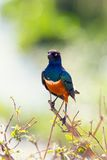 Superb Starling bird in Tanzania Stock Images