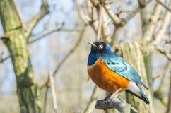 Superb Starling Blue och röd orange afrikansk fågelprofil Portrai Royaltyfri Foto