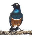 Superb Starling on a branch - Lamprotornis superbus Stock Photo