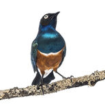 Superb Starling on a branch - Lamprotornis superbus Stock Photos