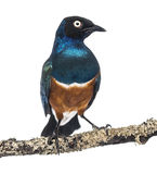 Superb Starling on a branch - Lamprotornis superbus Stock Images