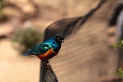 Superb starling called Lamprotornis superbus Royalty Free Stock Image