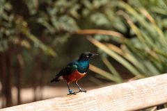Superb starling called Lamprotornis superbus Stock Photography