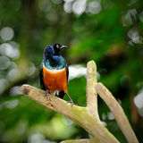 Superb Starling. Colorful Superb Starling on the wood Stock Images