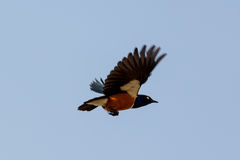 Superb Starling during flight Royalty Free Stock Images