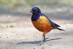 Superb starling at the ground Royalty Free Stock Image