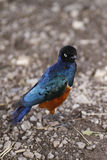 Superb Starling II Royalty Free Stock Images