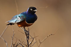 Superb starling, Kenya Stock Images