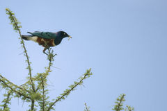 Superb Starling, Lamprotornis superbus Royalty Free Stock Photos