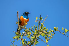 Superb starling or Lamprotornis superbus Royalty Free Stock Photo