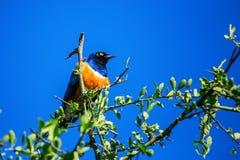 Superb starling or Lamprotornis superbus Stock Images