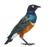 Superb Starling - Lamprotornis superbus Royalty Free Stock Image