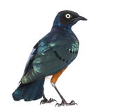 Superb Starling - Lamprotornis superbus Royalty Free Stock Photography