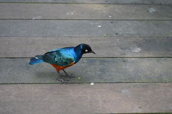 Superb Starling Stock Photo