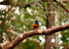 Superb Starling (Lamprotornis superbus) Royalty Free Stock Photos