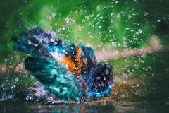 Superb Starling Lamprotornis superbus taking a bath Royalty Free Stock Photo