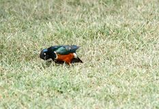 Superb Starling moving its head Stock Images