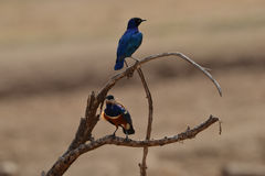 Superb Starling Perched on branch. Superb Starling rests on a branch staring out into the Savannah Stock Photography