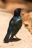 Superb starling perched on kerb beside road Royalty Free Stock Photo