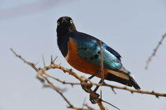 Superb Starling Perched Stock Photos