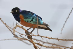 Free Superb Starling Perched On Branch Stock Images - 63362764