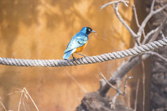 Superb starling perched on a rope, Spreo Superbus Stock Photography