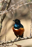 Superb Starling with ruffled feathers. Superb Starling with ruffled chest feathers sitting on a thorny branch Royalty Free Stock Photo