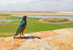 Superb Starling with African landscape Royalty Free Stock Images
