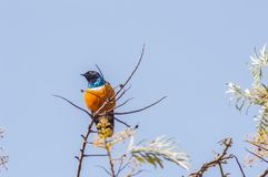 Superb Starling in the savannah grassland of the amboseli stock photo