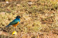 Superb Starling in the savannah grassland of the amboseli in Ken royalty free stock photos