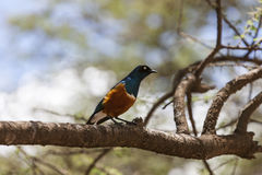 Superb starling in the Serengeti Stock Image