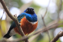 Superb starling Stock Photos