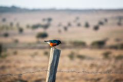 Superb starling sitting on a fence stock photos