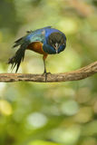Superb Starling Stock Image