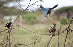 Superb starling in flight Royalty Free Stock Photography