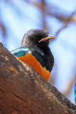 Superb starling on a tree Stock Images