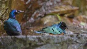 Superb Starling Washing Feathers Stock Photography