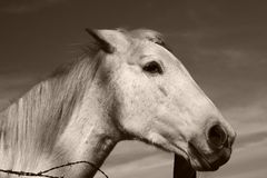Superb white horse. Watching me Royalty Free Stock Photography
