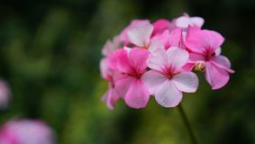 Superb White and Pink Flower stock images