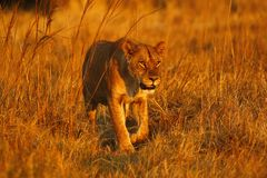 Superb young female lion in the pride. Supreme African wildlife at it`s best in the savanna of Botswana, a pride of lions are the top predators royalty free stock images