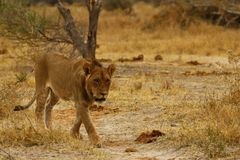 Superb young sub adult male lion ready to leave the pride royalty free stock photo