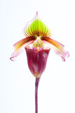 Superbiens do Paphiopedilum (Rchb f ) foto de stock royalty free