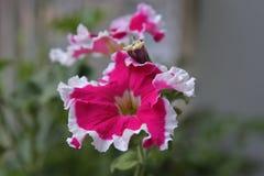 Superbissima петуньи Стоковые Фотографии RF