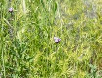 美丽的野花- superbloom现象的部分在步行者峡谷山脉的在湖埃尔西诺附近 图库摄影